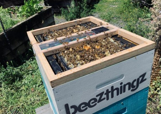 Rent bees in Auckland