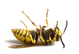 Wasp Extermination in Auckland 1